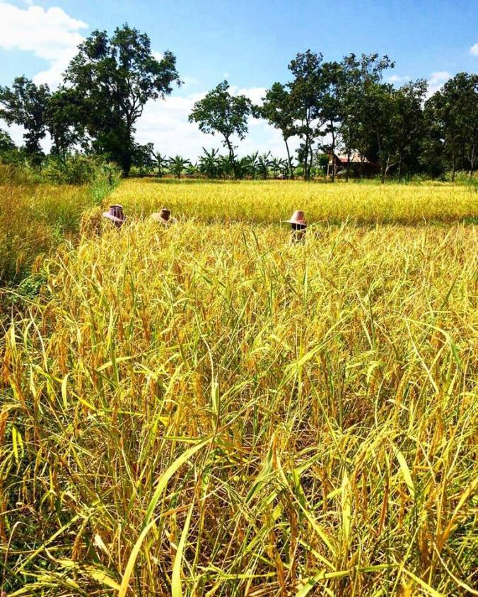 udonthani-rice-field